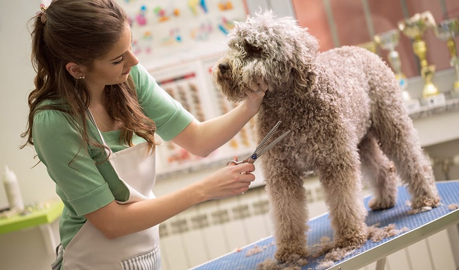 Do Labradoodles Need Grooming And Which Supplies Are Best