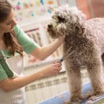 Do Labradoodles Need Grooming? (And Which Supplies Are Best?)