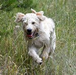 How Much Exercise Do Labradoodle Puppies Need?