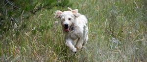 Labradoodle Running
