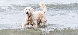 Labradoodle in Water