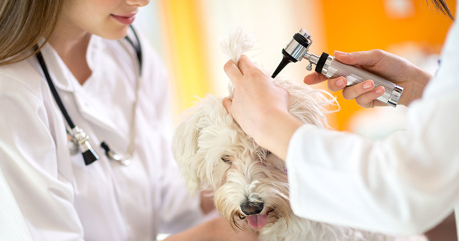 Common Health Issues With Labradoodles