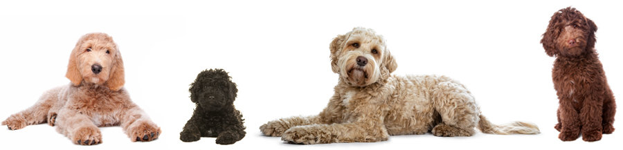 Labradoodle Sizes And Weights