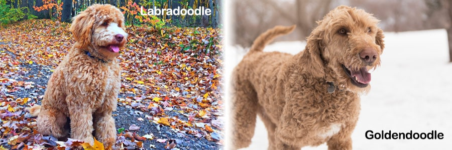 The Real Differences Between Labradoodles and Goldendoodles