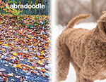 The Real Differences Between Labradoodles & Goldendoodles