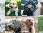 The 9 Most Popular Poodle Mixes Compared (with pictures)