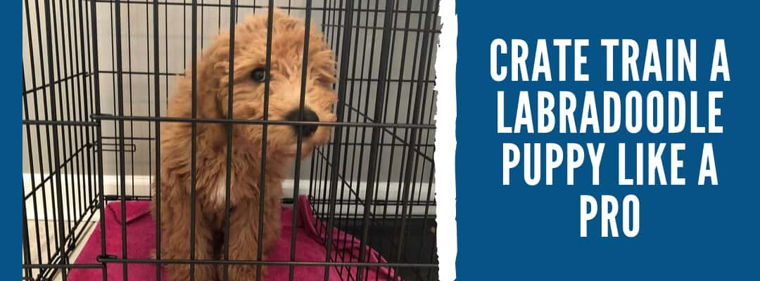 Crate Train a Labradoodle Puppy Like a Pro