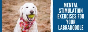 Mental Stimulation Exercises For Your Labradoodle