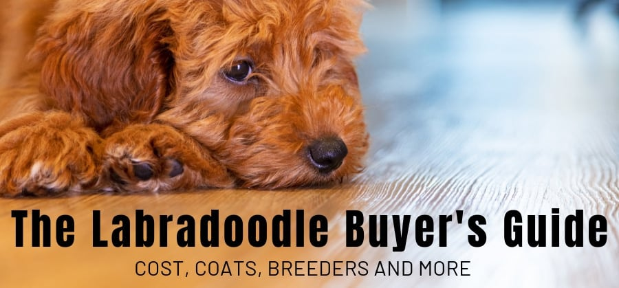 The Labradoodle Buyers Guide Cost Coats Breeders And More