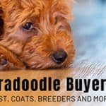 The Labradoodle Buyer's Guide: Cost, Coats, Breeders And More