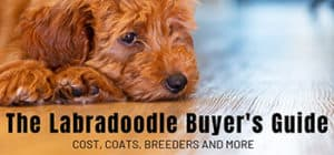 The Labradoodle Buyer's Guide