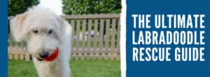 The Ultimate Labradoodle Rescue Guide