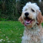 The Labradoodle: A Complete Breed Overview