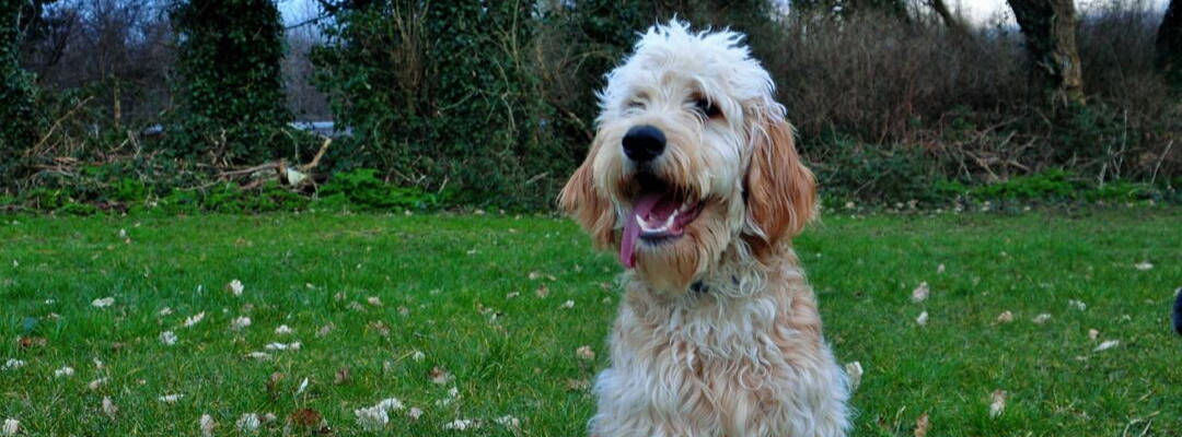 Labradoodle - Complete Breed Overview