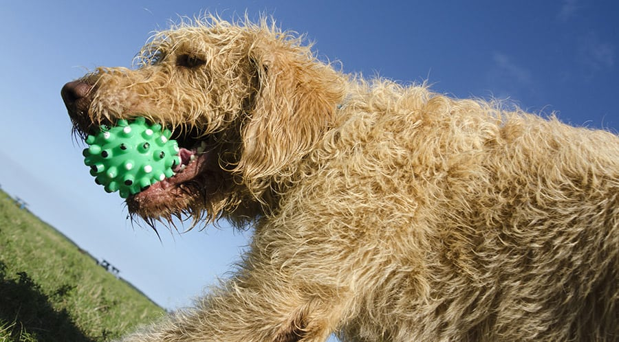 The Labradoodle Exercise Guide