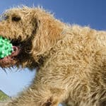 The Exercise Guide For Labradoodles - From Puppies to Adult