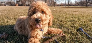 When do Labradoodle Puppies Lose Their Puppy Coat