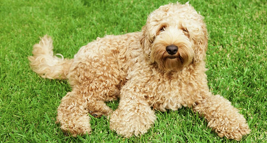 Why Do Labradoodle Puppies Chew Grass