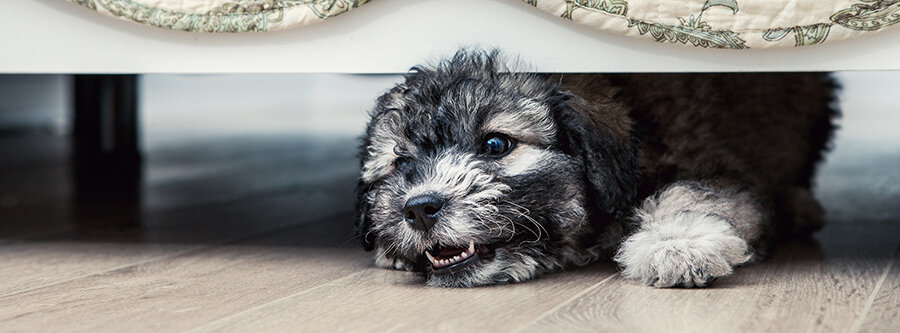 Why Is My Labradoodle Puppy Growling And What Does It Mean?