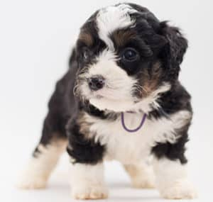 Are Bernedoodles Good Family Dogs?