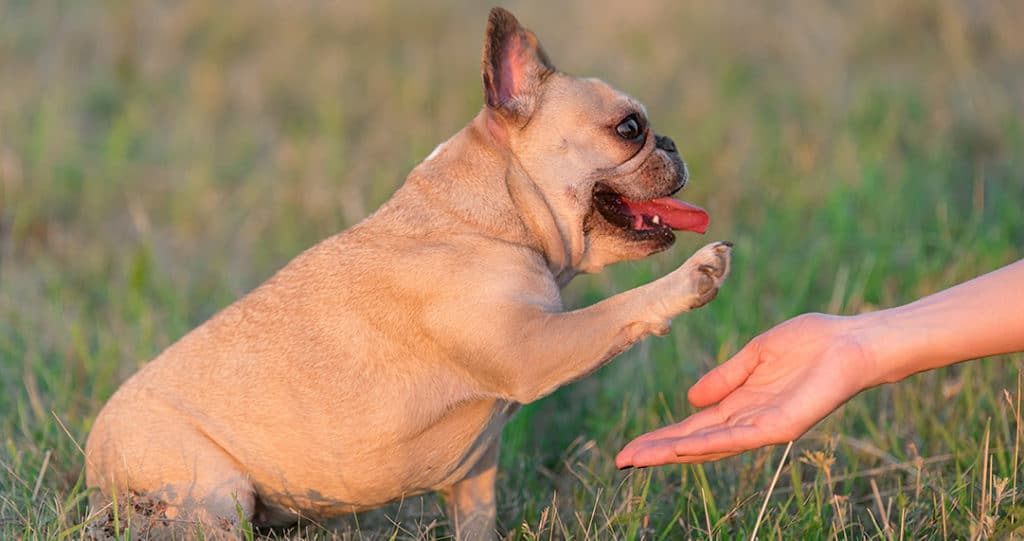 Are French Bulldogs Easy Or Hard To Train What To Teach First