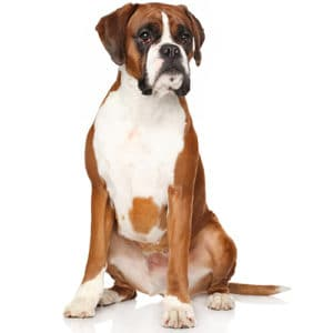 Boxer dog sitting nicely