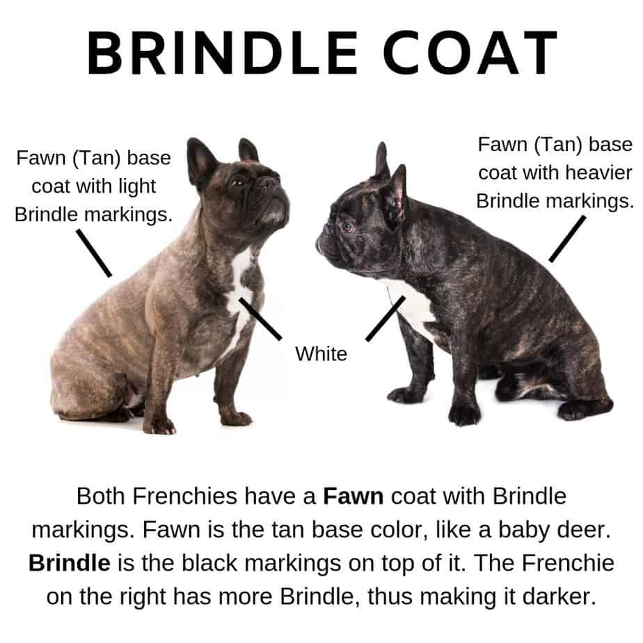 Brindle Coat French Bulldogs