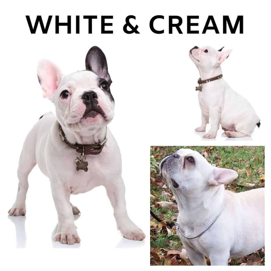 Cream and White French Bulldogs