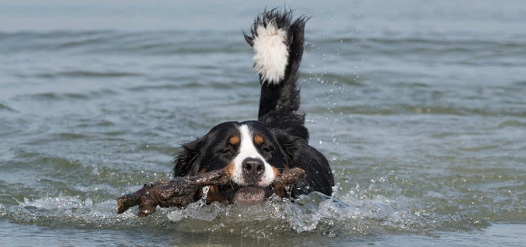 Do Bernedoodles Like To Swim?