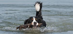 Do Bernedoodles Like To Swim?