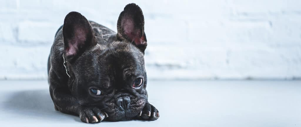 Do French Bulldogs Do Well At Home Alone