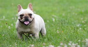 Do French Bulldogs Overheat