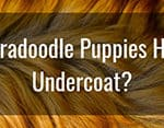 Do Labradoodle Puppies Have An Undercoat? (Do They Shed It?)