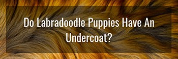 Do Labradoodle Puppies Have An Undercoat