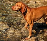 Do Vizslas Like To Swim? A Web-Footed Water Dog!