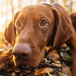 Do Vizslas Shed? Tips For Maintaining A Self Cleaning Dog