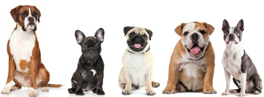 French Bulldog Compared To: Pug, Boston Terrier, Bulldog, Boxer