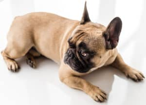 French Bulldog laying on white background