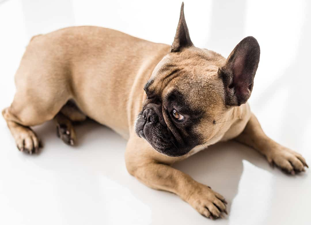 French Bulldog Puppy Costs Real Breeder Examples Prices