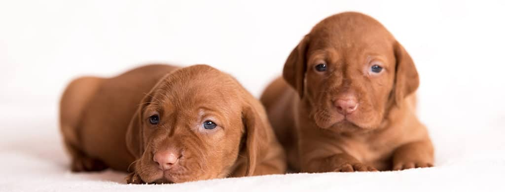 How Much Do Vizsla Puppies Cost?