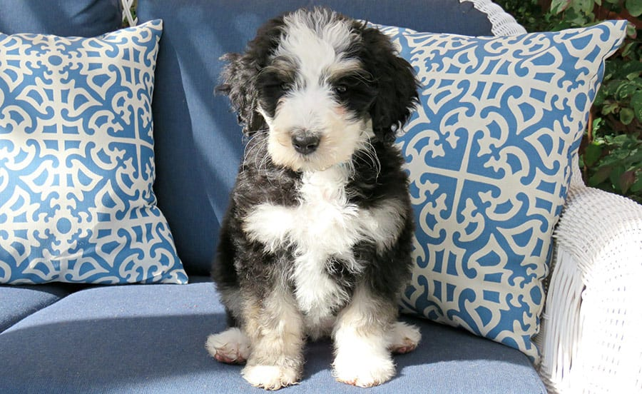 How Much Does A Bernedoodle Puppy Cost Are They Expensive