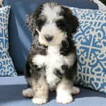 How Much Does A Bernedoodle Puppy Cost? Are They Expensive?