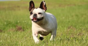 French Bulldog running through a field with his tongue out panting