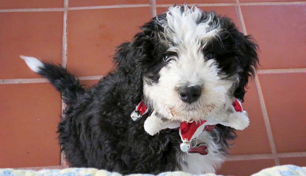 How Much Exercise Does A Bernedoodle Need?