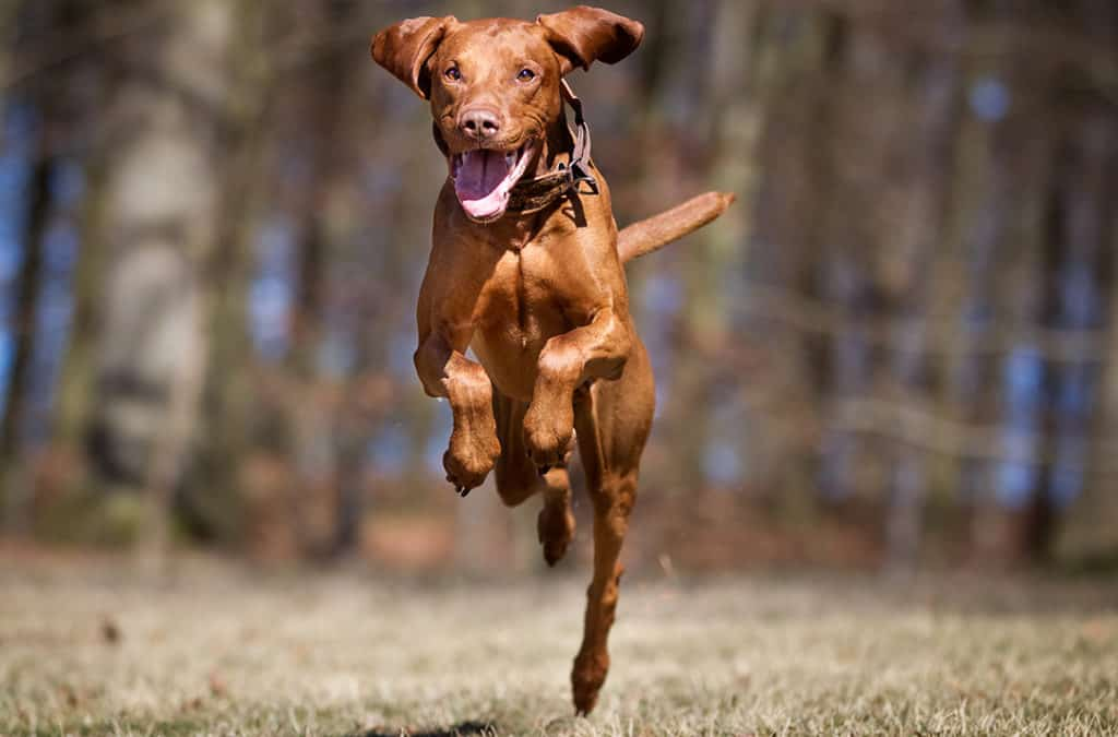 How Much Exercise Does A Vizsla Puppy Need?