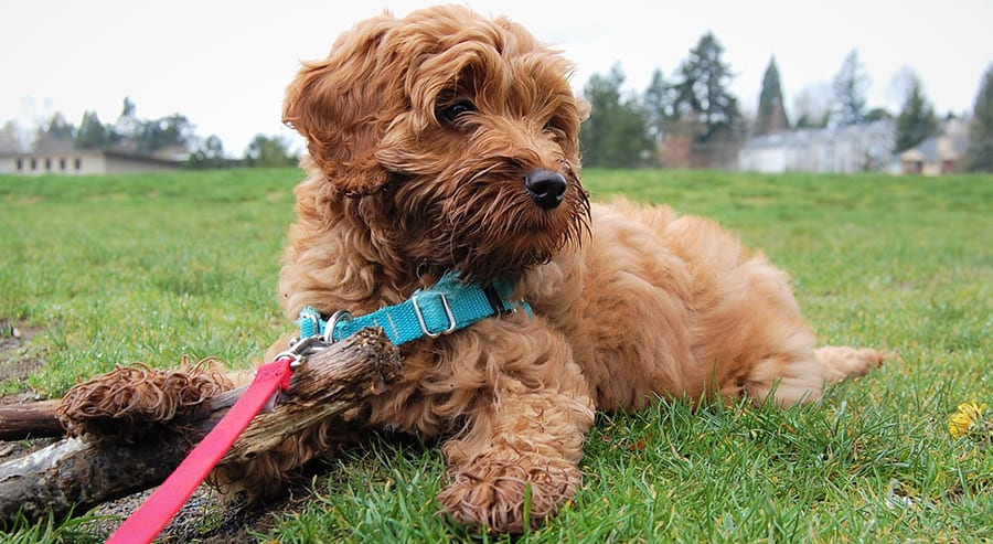 How And Where To Find A Great Labradoodle Puppy Breeder