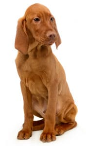 Vizsla Breed Overview_Puppy Image