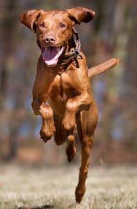 Vizsla running