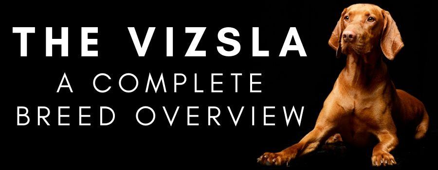 Vizsla Breed Overview