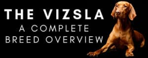 Vizsla Breed Overview